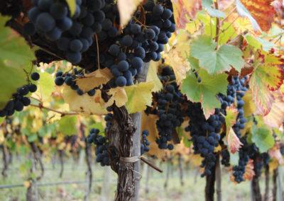 vignes-terroir